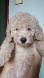 Poodle Toy 2 Tháng Tuổi