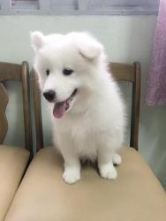 Samoyed 2 Tháng Tuổi