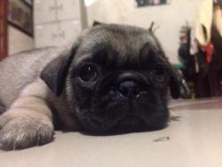 Đàn Pug gần 2 tháng tuổi
