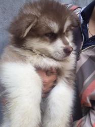 Chó Alaska OverSize 2 Tháng Tuổi