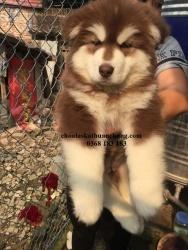 Alaska 2 tháng tuổi