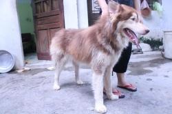 Chó Alaska Nâu Đỏ Mặt Tim 10 tháng
