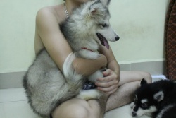 Chó Alaska Xám Trắng 3 tháng tuổi