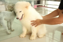Chó Alaska Trắng (Cực Hiếm)