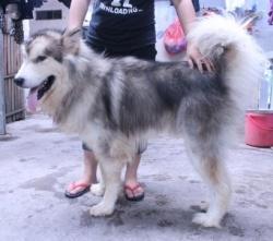 Chó Alaska Xám Trắng (Nhập Nga)
