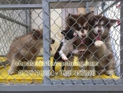 Chó Alaska nâu đỏ 2 tháng tuổi