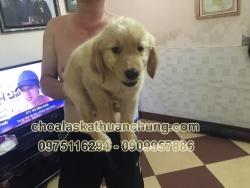 Chó Golden 2 tháng tuổi