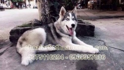 Chó Husky 11 tháng tuổi