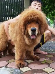 Chó Ngao Tây Tạng Đại Sư Đầu 3 Tháng