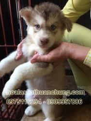Chó Alaska Hồng Phấn