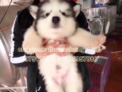 Chó Alaska xám trắng