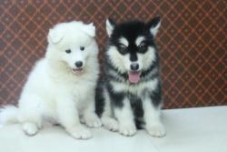 Chó Alaska Đen Trắng 2 Tháng Tuổi
